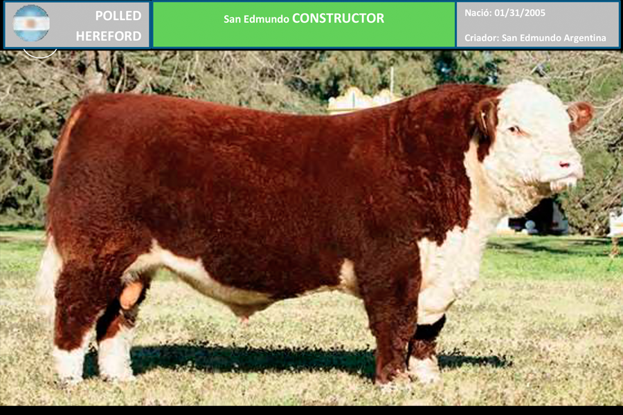 Raza Polled Hereford